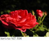 Купить «Цветок алой розы под ярким летним солнцем», фото № 67104, снято 11 июня 2004 г. (c) Harry / Фотобанк Лори