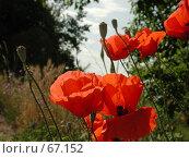 Купить «Полевые маки на полянке освещенной солнцем», фото № 67152, снято 21 июня 2004 г. (c) Harry / Фотобанк Лори