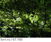 Купить «Молодая листва под лучами яркого солнца», фото № 67160, снято 23 июня 2004 г. (c) Harry / Фотобанк Лори