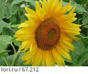 Купить «Цветущий подсолнечник на фоне зеленых листьев», фото № 67212, снято 30 июля 2004 г. (c) Harry / Фотобанк Лори