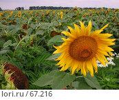 Купить «Цветущий подсолнух на поле среди других подсолнухов», фото № 67216, снято 30 июля 2004 г. (c) Harry / Фотобанк Лори