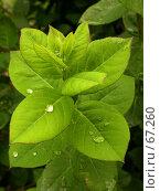 Купить «Зеленые листья после дождя», фото № 67260, снято 12 мая 2005 г. (c) Harry / Фотобанк Лори