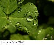 Купить «Капли дождя на листе клевера под ярким солнцем», фото № 67268, снято 13 мая 2005 г. (c) Harry / Фотобанк Лори