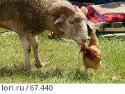 Купить «Баран и курица», эксклюзивное фото № 67440, снято 3 июля 2005 г. (c) Ирина Мойсеева / Фотобанк Лори