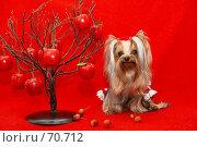 Купить «Йоркширский терьер на ярком красном фоне  рядом с декоративной яблоней-сувениром», фото № 70712, снято 24 октября 2006 г. (c) Ирина Мойсеева / Фотобанк Лори