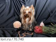 Купить «Йоркширский терьер  подмигивает одним глазом», фото № 70740, снято 24 октября 2006 г. (c) Ирина Мойсеева / Фотобанк Лори