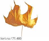 Лист клёна. Стоковое фото, фотограф дмитрий / Фотобанк Лори