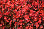 Красные цветы, фото № 71700, снято 5 августа 2007 г. (c) Argument / Фотобанк Лори