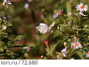 Купить «Бабочка на цветке», фото № 72680, снято 9 августа 2007 г. (c) Алена Сафронова / Фотобанк Лори