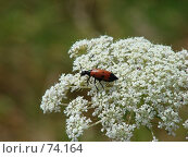 Купить «Красный жук на белом расцветающем  цветке тысячелистнике», фото № 74164, снято 7 июля 2007 г. (c) Ashot  M.Pogosyants / Фотобанк Лори