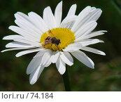 Купить «Ромашка на которой сидит муха», фото № 74184, снято 8 июля 2007 г. (c) Ashot  M.Pogosyants / Фотобанк Лори