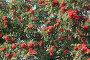 Рябина красная, фото № 77016, снято 13 августа 2007 г. (c) Ханыкова Людмила / Фотобанк Лори