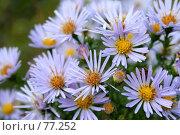 Купить «Букет осенних цветов голубого цвета», фото № 77252, снято 1 октября 2006 г. (c) Александр Паррус / Фотобанк Лори
