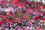 Разноцветная петуния. Цветочный фон., фото № 80848, снято 20 июля 2007 г. (c) Елена Блохина / Фотобанк Лори