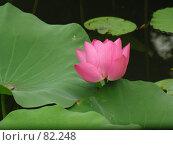 Купить «Лотос. Сучжоу. Китай», фото № 82248, снято 8 сентября 2007 г. (c) Екатерина Овсянникова / Фотобанк Лори