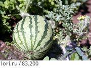 Купить «Большой спелый арбуз на грядке», фото № 83200, снято 22 июля 2007 г. (c) Сергей Лешков / Фотобанк Лори