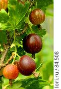 Купить «Северный виноград. (Northern grapes.)», фото № 84508, снято 14 июля 2007 г. (c) Анатолий Теребенин / Фотобанк Лори