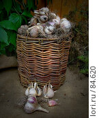 Купить «Корзина с чесноком», фото № 84620, снято 15 сентября 2007 г. (c) Таня Нотта / Фотобанк Лори