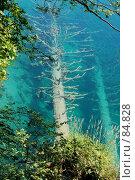 Купить «Ствол дерева в кальциевых отложениях под водой, Плитвицкие озера, Хорватия», фото № 84828, снято 15 июля 2007 г. (c) Golden_Tulip / Фотобанк Лори