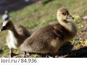 Купить «Гусь-птенец», фото № 84936, снято 29 апреля 2007 г. (c) Екатерина Соловьева / Фотобанк Лори