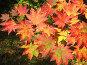Яркие осенние кленовые листья,освещенные солнцем,на темном зеленом фоне, эксклюзивное фото № 91560, снято 2 октября 2007 г. (c) Наталья Волкова / Фотобанк Лори