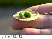 Купить «Зеленая гусеница на желтом листе», фото № 92412, снято 30 сентября 2007 г. (c) Golden_Tulip / Фотобанк Лори