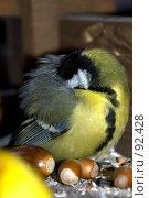 Купить «Спящая синица спрятала голову под крыло», фото № 92428, снято 30 сентября 2007 г. (c) Golden_Tulip / Фотобанк Лори