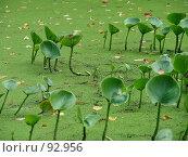 Говорушки в сельском пруду. Стоковое фото, фотограф Надежда Климовских / Фотобанк Лори
