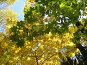 Крона кленов, сквозь которую просвечивает солнце, эксклюзивное фото № 93120, снято 29 сентября 2007 г. (c) Наталья Волкова / Фотобанк Лори
