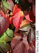Купить «Разноцветные листья девичьего винограда», фото № 94208, снято 30 сентября 2007 г. (c) Старостин Сергей / Фотобанк Лори