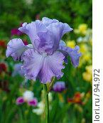 Купить «Ирис», фото № 94972, снято 23 мая 2005 г. (c) Иван Сазыкин / Фотобанк Лори