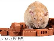 Купить «Большая крыса на маленьких кирпичиках. Дамбо рекс. Крыса строитель. Крупный план.», фото № 98160, снято 15 июля 2018 г. (c) Сергей Лешков / Фотобанк Лори