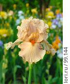 Купить «Ирис», фото № 99144, снято 20 мая 2005 г. (c) Иван Сазыкин / Фотобанк Лори