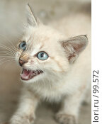 Купить «Взгляд маленького серого котенка», фото № 99572, снято 13 сентября 2007 г. (c) Останина Екатерина / Фотобанк Лори
