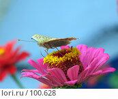 Купить «Бабочка на розовом цветке циннии», фото № 100628, снято 23 сентября 2007 г. (c) Сергей Сухоруков / Фотобанк Лори