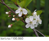 Купить «Цветки вишни», фото № 100860, снято 21 мая 2005 г. (c) Калёнов Павел / Фотобанк Лори
