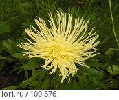 Купить «Игольчатая хризантема», фото № 100876, снято 21 августа 2004 г. (c) Калёнов Павел / Фотобанк Лори