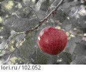Купить «Красное яблоко на ветке», фото № 102052, снято 20 сентября 2018 г. (c) Светлана Кучинская / Фотобанк Лори