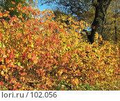 Освещенное солнцем разноцветье осеннего куста в  парке, фото № 102056, снято 19 октября 2017 г. (c) Людмила Жмурина / Фотобанк Лори