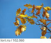 Ветка дуба с  пожелтевшими листьями на фоне голубого неба, фото № 102060, снято 19 октября 2017 г. (c) Людмила Жмурина / Фотобанк Лори