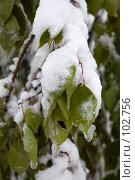 Купить «Неожиданное начало зимы во Владивостоке. Обледенелые листья», фото № 102756, снято 14 августа 2018 г. (c) TigerFox / Фотобанк Лори