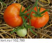Купить «Три помидора», фото № 102780, снято 21 сентября 2018 г. (c) Анатолий Теребенин / Фотобанк Лори