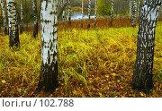 Купить «Белые Березы, желтая листва», фото № 102788, снято 21 сентября 2018 г. (c) Анатолий Теребенин / Фотобанк Лори