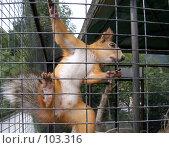 Купить «Белка в зоопарке», фото № 103316, снято 21 марта 2019 г. (c) Елена Руденко / Фотобанк Лори