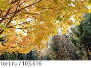 Купить «Яркая крона клёна», фото № 103616, снято 22 апреля 2018 г. (c) Круглов Олег / Фотобанк Лори