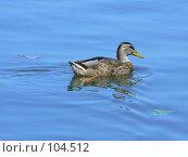 Купить «Плывущая утка», фото № 104512, снято 23 января 2019 г. (c) Огульчанский Александер / Фотобанк Лори