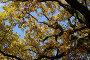 Крона дуба. Осень., фото № 106412, снято 30 октября 2007 г. (c) Екатерина Соловьева / Фотобанк Лори