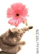 Купить «Серая кошка играет с  розовым цветком», фото № 107376, снято 16 октября 2007 г. (c) Останина Екатерина / Фотобанк Лори