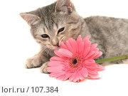 Купить «Серая кошка играет с  розовым цветком», фото № 107384, снято 16 октября 2007 г. (c) Останина Екатерина / Фотобанк Лори