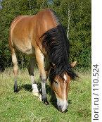 Купить «Лошадь пасется», фото № 110524, снято 5 сентября 2007 г. (c) Анастасия Некрасова / Фотобанк Лори